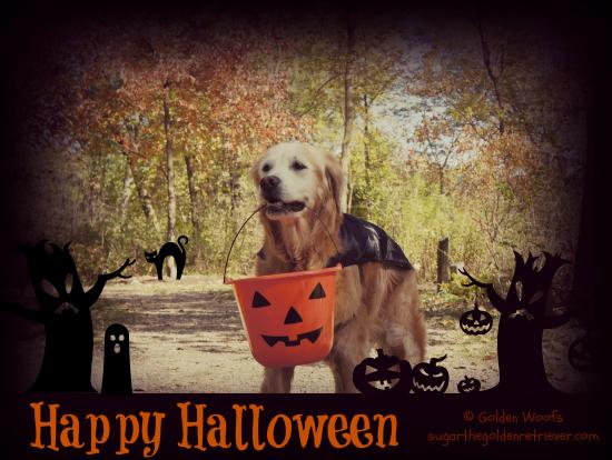 Happy Halloween: Sugar the Golden Retriever