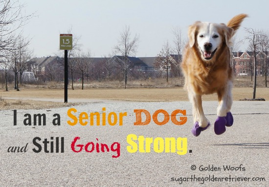 Senior Dog and Still Going Strong: Sugar The Golden Retriever