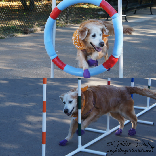 Dog Agility: Sugar The Golden Retriever