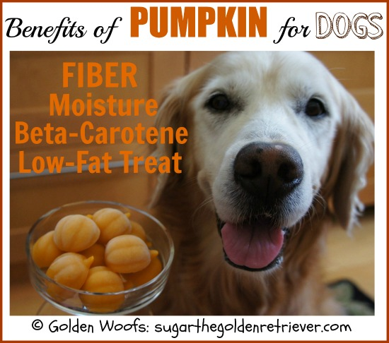 Benefits of Pumpkin For Dogs: Sugar The Golden Retriever