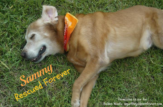 Sammy Rescued Forever, Golden Retriever Fighting Canine Cancer