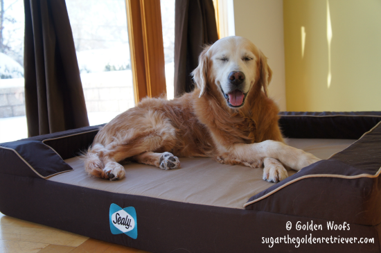 Sugar Golden Happy on a Sealy Dog Bed