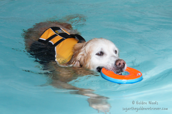 Golden Retriever FUN indoor Swim