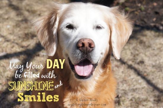 Golden Retriever Sunshine & SMILES