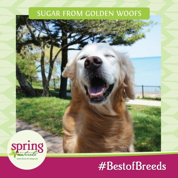 Spring Naturals  #BestofBreeds SugarTheGoldenRetriever
