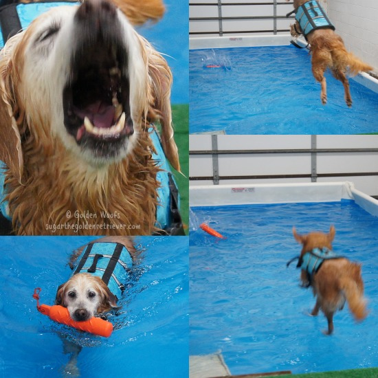 Dock Diving DOG: Sugar The Golden Retriever