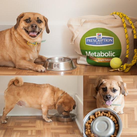 Theo's Weight Loss Success w/ #HillsPet Metabolic