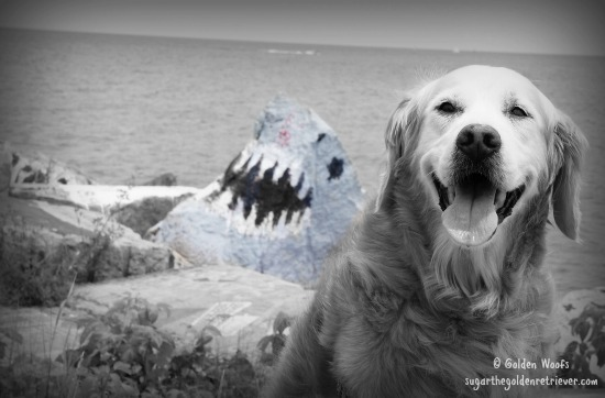 SHARK Behind Sugar The Golden Retriever