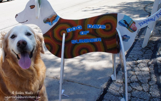 Dog Days of SUMMER: Sugar The Golden Retriever