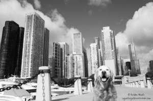 CruisingTheCity_Chicago_caninecruise