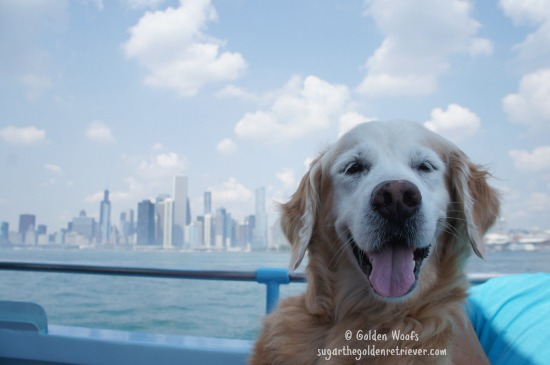Sugar_CanineCruise_ChicagoSkyline