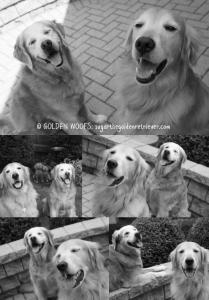 Golden SMILES _ Golden Retriever