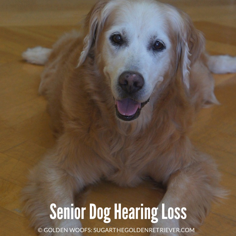 Hearing Loss In Dogs Sugar The Golden Retriever