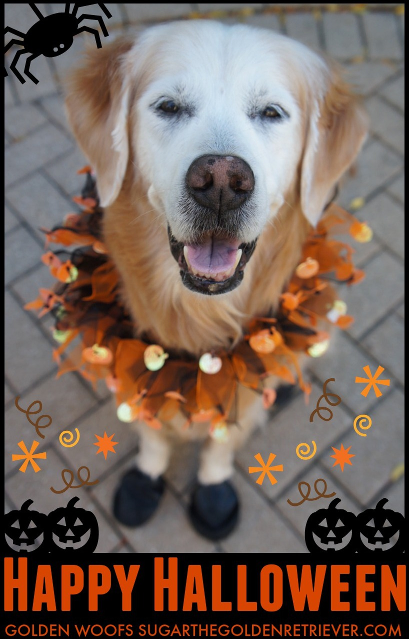 Sugar The Golden Retriever Halloween