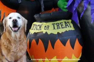 Trick or TREAT Golden Retriever DOG