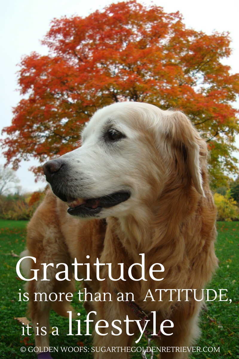 Quotes Gratitude 3 Gratitude Quotes For Thanksgiving  Golden Woofs