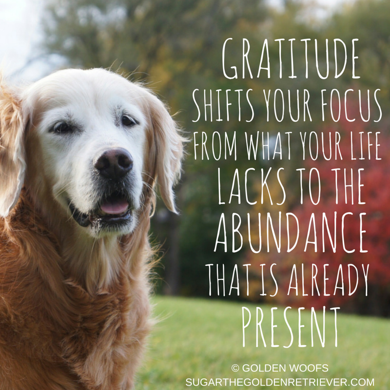 3 Gratitude Quotes For Thanksgiving Golden Woofs