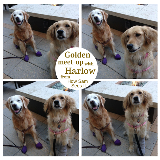 Golden Meet-up with Harlow