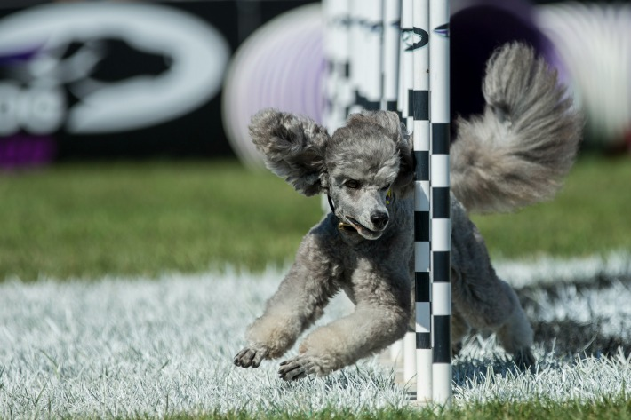 Purina Pro Plan Incredible Dog Challenge_Agility_Weave