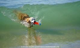 Huntington Dog Beach: Dog Surfing