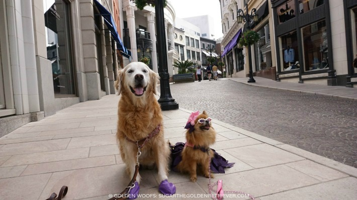 Dogs Golden n Pomeranian at Rodeo Drive