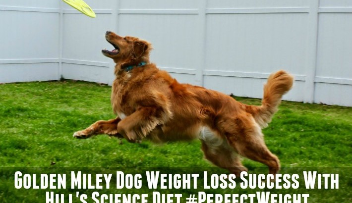 Golden Miley Dog Weight Loss Success With Hill's #PerfectWeight