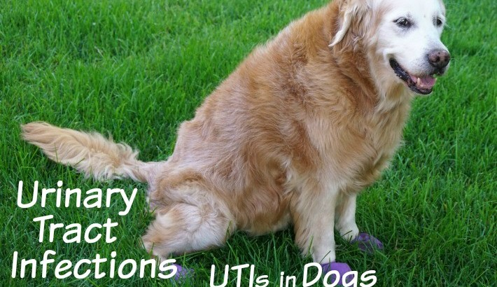 Urinary Tract Infections: UTIs in Dogs