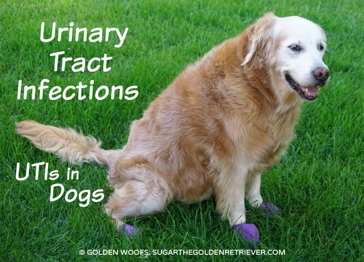 UTIs in Dogs : Urinary Tract Infections