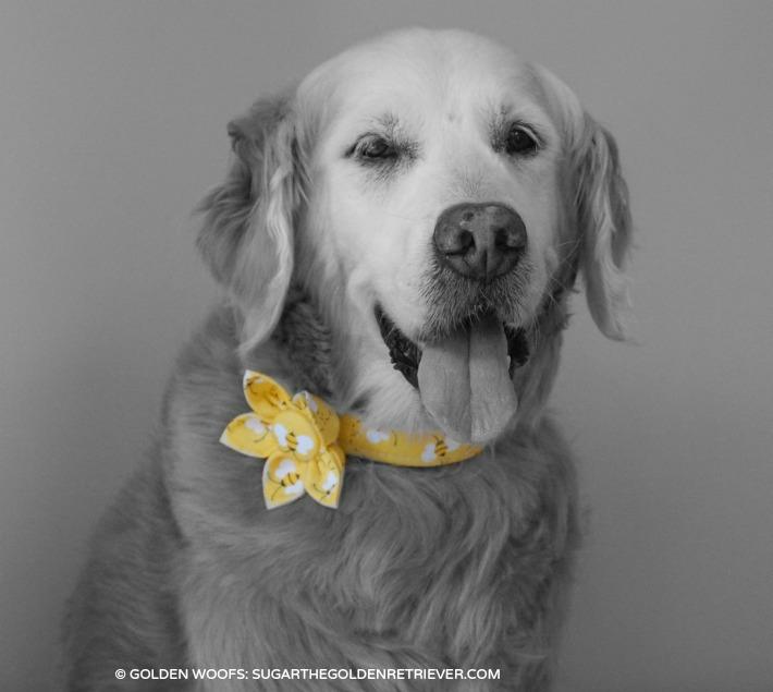 Golden Woofs Flower Dog Collar