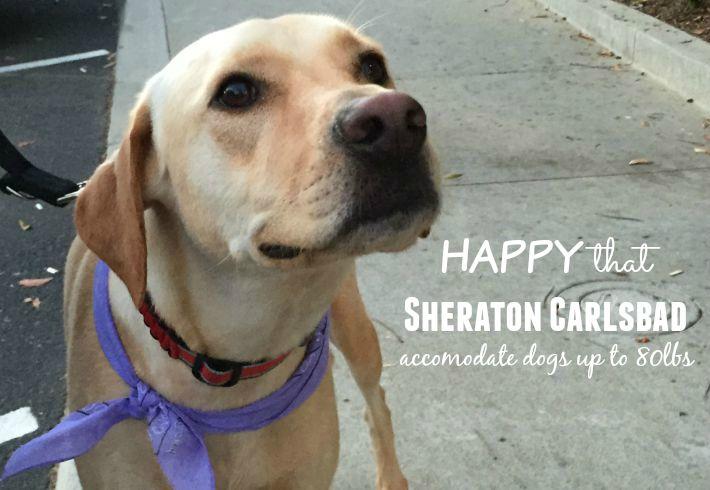 ALEX dog-guest Sheraton Carlsbad