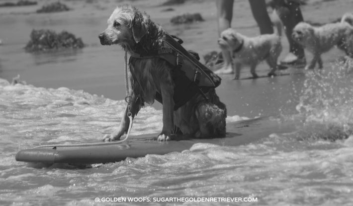 SURF Dog Golden Retriever