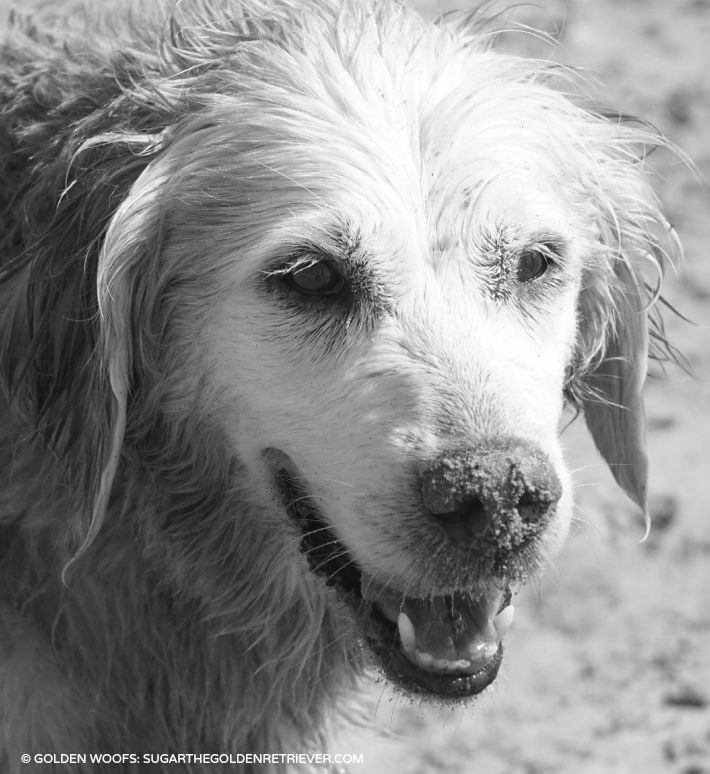 Dog With Sandy Nose Golden Woofs