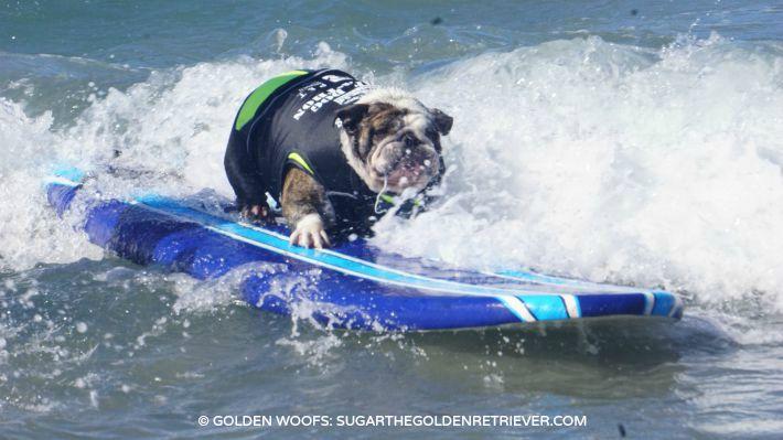 surf a thon HWAC surf dog