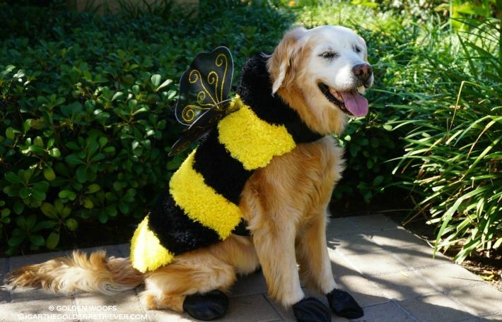 help sugar choose her halloween costume golden woofs