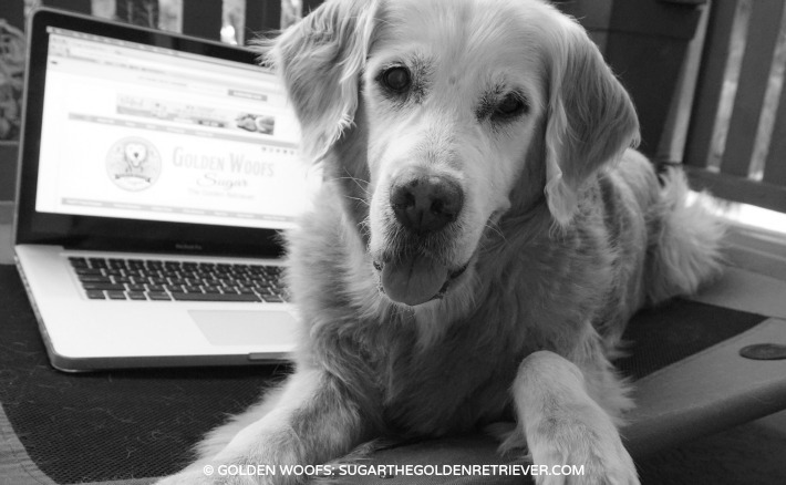 Sugar the Golden Retriever Dog Blogger