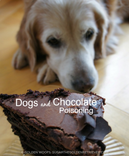 Dogs and Chocolate Poisoning - Golden Woofs