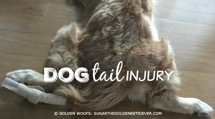 Sugar's Injured Golden Tail