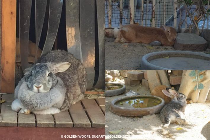 westin pets rabbits