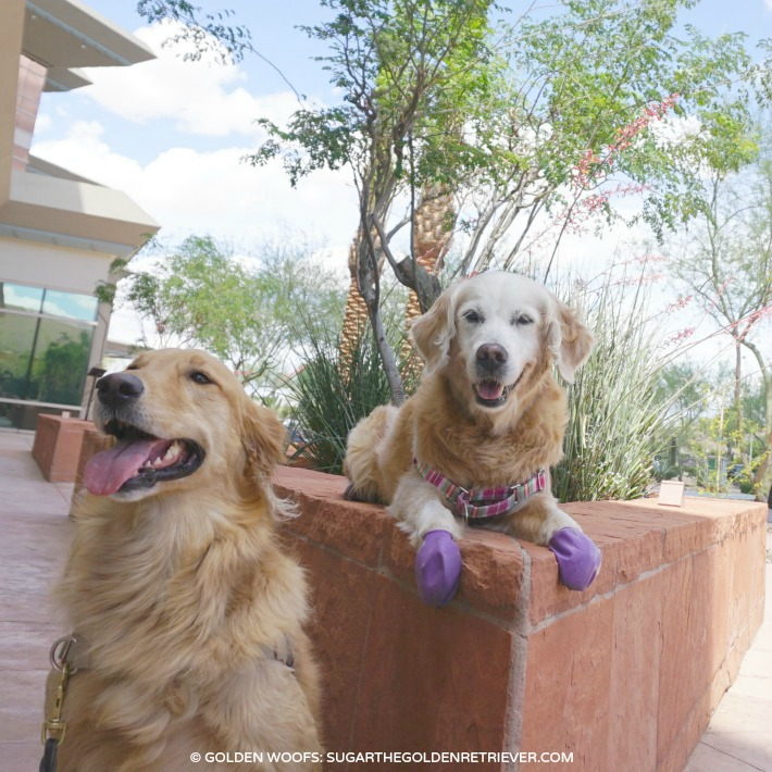 golden retriever meetup with Giselle
