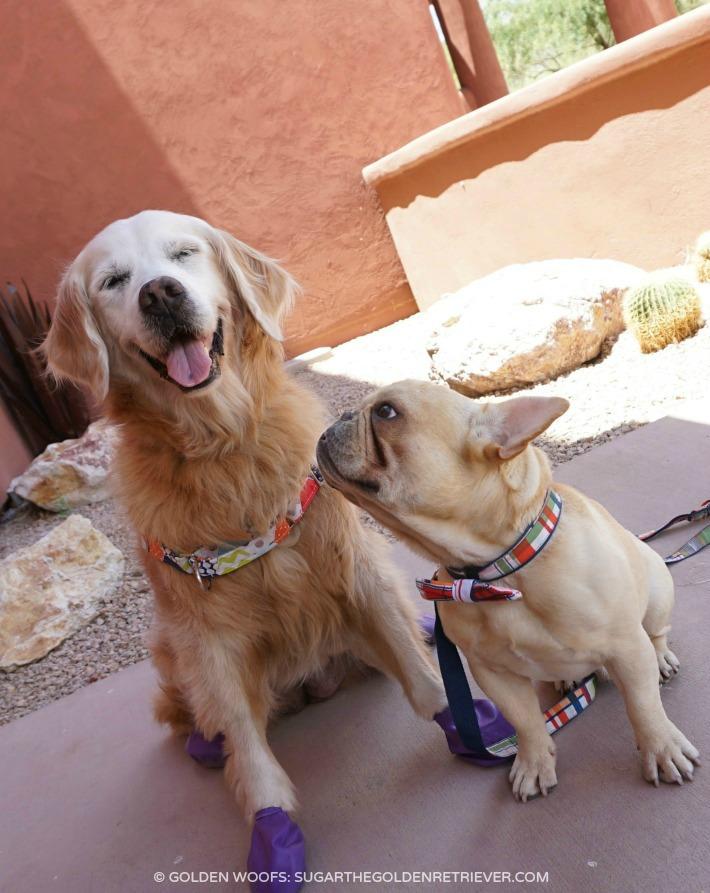 Golden Retriever French Bulldog