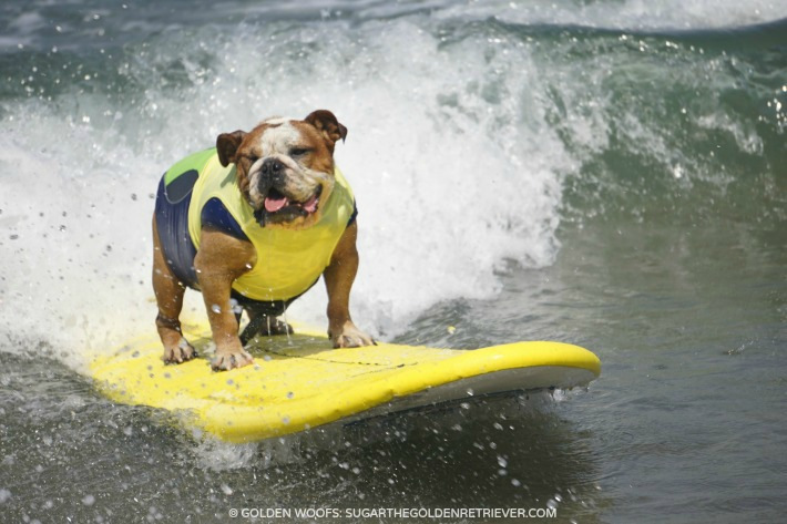 Sully Surfing Dog