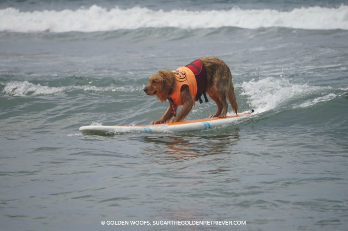 courageous surfing dogs