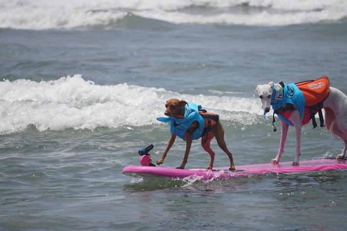 tanden dog surfing