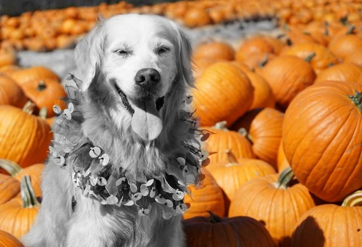 Dog and Pumpkins