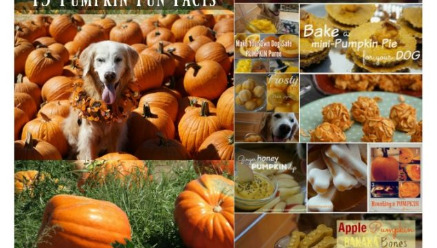 15 Pumpkin Fun Facts | 8 Pumpkin Dog Treats #CookingForSugar