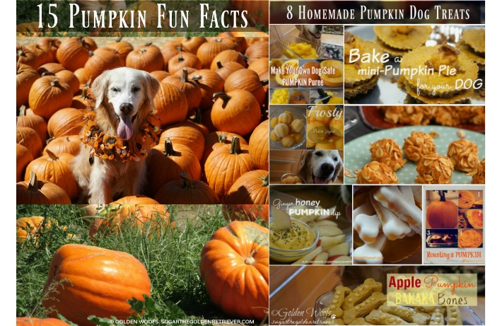 15 Pumpkin Fun Facts | 8 Pumpkin Dog Treats #CookingForSugar