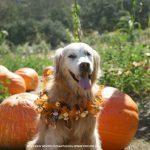 Pumpkins Pumpkins Pumpkins! Dog Friendly Bates Nut Farm