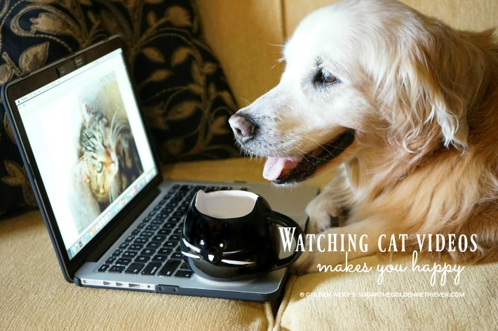 Dog Watching Cat Videos Golden Woofs