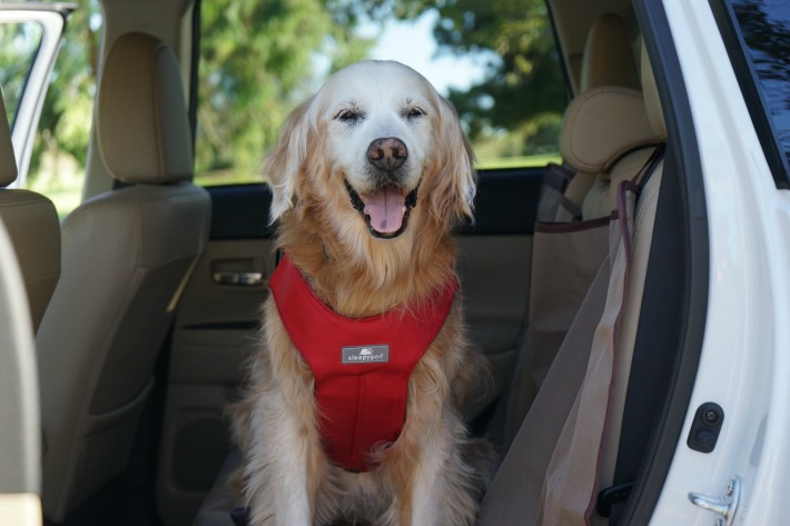 Buckle Up Your Dog