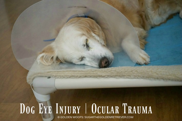 Dog Eye Injury | Ocular Trauma